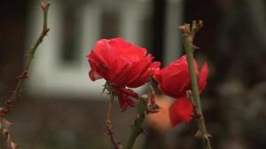 Rose - A Flash Fiction