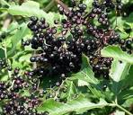 A to Z Challenge - E is for Elderberry