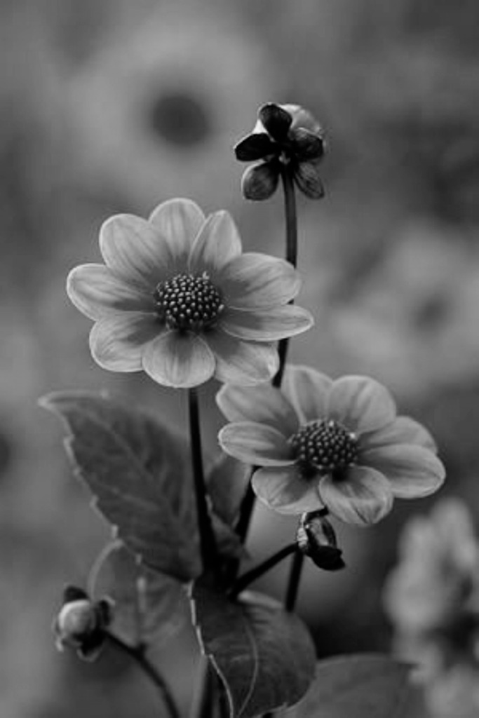 Wordless Wednesday: Black And White Flowers